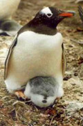 Gentoo penguin with grey and white chick.